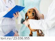 Купить «close up of vet with dachshund dog at clinic», фото № 23036955, снято 19 июля 2015 г. (c) Syda Productions / Фотобанк Лори