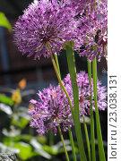 Лук голландский декоративный (Allium hollandicum), крупный план. Стоковое фото, фотограф Ирина Водяник / Фотобанк Лори