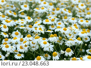 Купить «Ромашки. Фон», фото № 23048663, снято 15 июля 2008 г. (c) Татьяна Белова / Фотобанк Лори