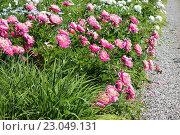 Купить «Кусты цветущих пионов», эксклюзивное фото № 23049131, снято 7 июня 2016 г. (c) Ната Антонова / Фотобанк Лори