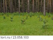 Маленькие сосны. Стоковое фото, фотограф Ирина Ульянкина / Фотобанк Лори