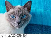 Купить «Кот с голубыми глазами», фото № 23059991, снято 22 мая 2016 г. (c) Наталья Окорокова / Фотобанк Лори