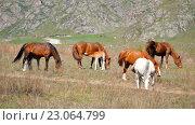 Купить «Heard of horses in Altai mountains», видеоролик № 23064799, снято 16 мая 2016 г. (c) Serg Zastavkin / Фотобанк Лори