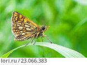 Бабочка Крепкоголовка лесная сидит на траве. Стоковое фото, фотограф Игорь Низов / Фотобанк Лори