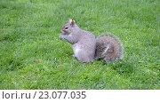 Купить «Белка с пушистым хвостом на зеленом газоне ест орешки», видеоролик № 23077035, снято 1 мая 2016 г. (c) FMRU / Фотобанк Лори