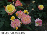 Желто-розовые розы. Стоковое фото, фотограф Юрий Елисеев / Фотобанк Лори