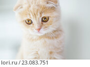 Купить «close up of scottish fold kitten», фото № 23083751, снято 19 июля 2015 г. (c) Syda Productions / Фотобанк Лори
