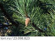 Купить «Сосна горная (лат. Pinus mugo) крупным планом», фото № 23098823, снято 14 апреля 2016 г. (c) Сергей Трофименко / Фотобанк Лори