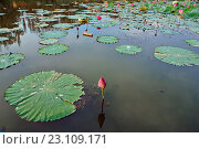Лист и бутон лотоса. Стоковое фото, фотограф Александр Смаков / Фотобанк Лори