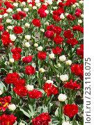 Купить «Цветы тюльпаны в парке Кекенхоф», фото № 23118075, снято 24 апреля 2016 г. (c) Руслан Кудрин / Фотобанк Лори