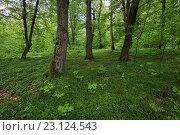 Широколиственный лес в Кременецких горах. Шумский район, Тернопольская область, Украина (2016 год). Стоковое фото, фотограф Онищенко Виктор / Фотобанк Лори