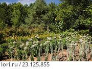 Купить «Allium - Onion plants in private backyard garden in summer, Jardin du Grand Portage garden, Saint-Didace, Lanaudiere, Quebec, Canada. This image is property...», фото № 23125855, снято 19 августа 2012 г. (c) age Fotostock / Фотобанк Лори