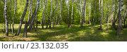 Берёзовый лес. Стоковое фото, фотограф Сергей Панкин / Фотобанк Лори
