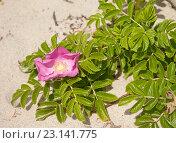 Купить «Цветущий шиповник на песке», эксклюзивное фото № 23141775, снято 13 июня 2016 г. (c) Svet / Фотобанк Лори