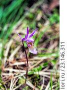 Купить «Орхидея Калипсо (Calypso bulbosa)», фото № 23146311, снято 22 мая 2016 г. (c) Евгений Ткачёв / Фотобанк Лори