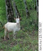 Купить «Белая коза среди зеленых деревьев в лесу», фото № 23153187, снято 5 мая 2016 г. (c) DiS / Фотобанк Лори