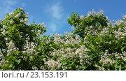 Купить «Цветущие деревья катальпы на фоне голубого неба», фото № 23153191, снято 16 июня 2016 г. (c) DiS / Фотобанк Лори