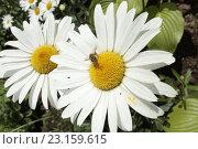 Ромашки. Стоковое фото, фотограф Irina Ugorova / Фотобанк Лори
