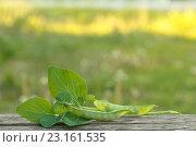 Купить «Зеленый горошек на столе», фото № 23161535, снято 25 июня 2016 г. (c) Йомка / Фотобанк Лори