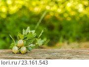 Купить «Крыжовник на фоне зеленых деревьев», фото № 23161543, снято 25 июня 2016 г. (c) Йомка / Фотобанк Лори
