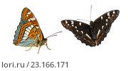 Ленточник тополёвый Limenitis populi (Linnaeus, 1758) Poplar Admiral на белом фоне изолировано в двух проекциях. Стоковое фото, фотограф Наталья Волкова / Фотобанк Лори