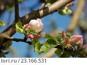 Купить «Бутоны яблони на фоне синего неба», фото № 23166531, снято 9 мая 2016 г. (c) Бабкина Марина / Фотобанк Лори