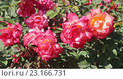 Купить «blossoming roses plant», видеоролик № 23166731, снято 13 мая 2016 г. (c) Яков Филимонов / Фотобанк Лори