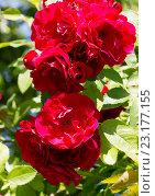 Купить «Цветы плетистой красной розы», фото № 23177155, снято 29 июня 2016 г. (c) Галина Савина / Фотобанк Лори