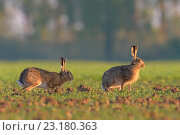 Купить «European brown hares (Lepus europaeus), Hesse, Germany, Europe.», фото № 23180363, снято 6 мая 2016 г. (c) age Fotostock / Фотобанк Лори