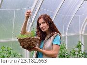 Купить «Девушка - садовод держит корзину с растущей декоративной зеленью в теплице на дачном участке», фото № 23182663, снято 19 июня 2016 г. (c) Максим Мицун / Фотобанк Лори