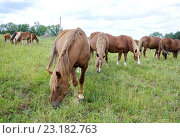Пасущийся табун лошадей. Стоковое фото, фотограф Андрей Силивончик / Фотобанк Лори