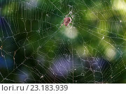 Паук в центре паутины. Стоковое фото, фотограф Владимир Иванов / Фотобанк Лори
