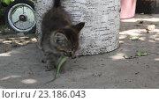 Купить «Молодой котенок ест ящерицу», видеоролик № 23186043, снято 19 июня 2016 г. (c) Олег Хархан / Фотобанк Лори