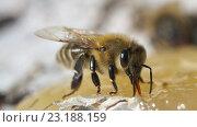 Пчёлы едят мёд. Стоковое фото, фотограф Игорь Потапов / Фотобанк Лори