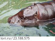 Бегемот в воде. Стоковое фото, фотограф Евгений Талашов / Фотобанк Лори