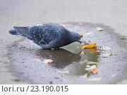 Голубь пьёт воду из лужи. Стоковое фото, фотограф Михаил Смыслов / Фотобанк Лори