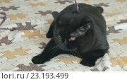 Купить «Черный британский кот на поводке», видеоролик № 23193499, снято 1 июля 2016 г. (c) worker / Фотобанк Лори