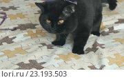Купить «Черный британский кот на поводке», видеоролик № 23193503, снято 1 июля 2016 г. (c) worker / Фотобанк Лори