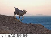 Детеныш горного козла на фоне закатного неба и морского побережья. Стоковое фото, фотограф Дмитрий Наумов / Фотобанк Лори