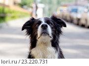 Купить «Собака сидит на дороге и смотрит наверх», фото № 23220731, снято 2 июля 2016 г. (c) Наталья Окорокова / Фотобанк Лори