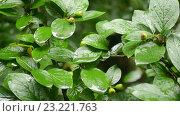 Купить «Влажные зеленые листья», видеоролик № 23221763, снято 7 июля 2016 г. (c) Румянцева Наталия / Фотобанк Лори