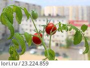 Купить «Томат с зелеными и зрелыми плодами на окне городской квартиры», фото № 23224859, снято 8 июля 2016 г. (c) Григорий Писоцкий / Фотобанк Лори