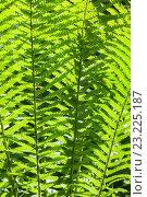 Купить «Листья папоротника», фото № 23225187, снято 15 июня 2016 г. (c) Anna P. / Фотобанк Лори