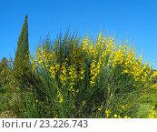 Купить «Яркие желтые цветы метельника и кипарис на фоне голубого неба», фото № 23226743, снято 9 мая 2016 г. (c) DiS / Фотобанк Лори