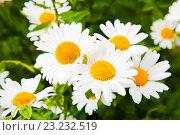 Ромашки в зеленой траве. Стоковое фото, фотограф Юлия Морозова / Фотобанк Лори