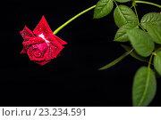 Яркая красная роза с каплями росы на лепестках. Стоковое фото, фотограф Екатерина Голубкова / Фотобанк Лори
