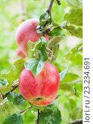 Купить «Два красных спелых яблока на ветке», фото № 23234691, снято 8 сентября 2013 г. (c) Юлия Бабкина / Фотобанк Лори