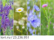 Купить «Набор лекарственных диких цветов», фото № 23236951, снято 18 октября 2018 г. (c) Йомка / Фотобанк Лори