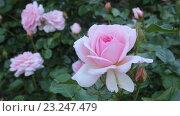 Купить «blossoming roses plant», видеоролик № 23247479, снято 13 мая 2016 г. (c) Яков Филимонов / Фотобанк Лори