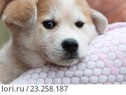 Купить «Японская акита ину, щенок крупным планом», фото № 23258187, снято 15 июня 2016 г. (c) Anna P. / Фотобанк Лори